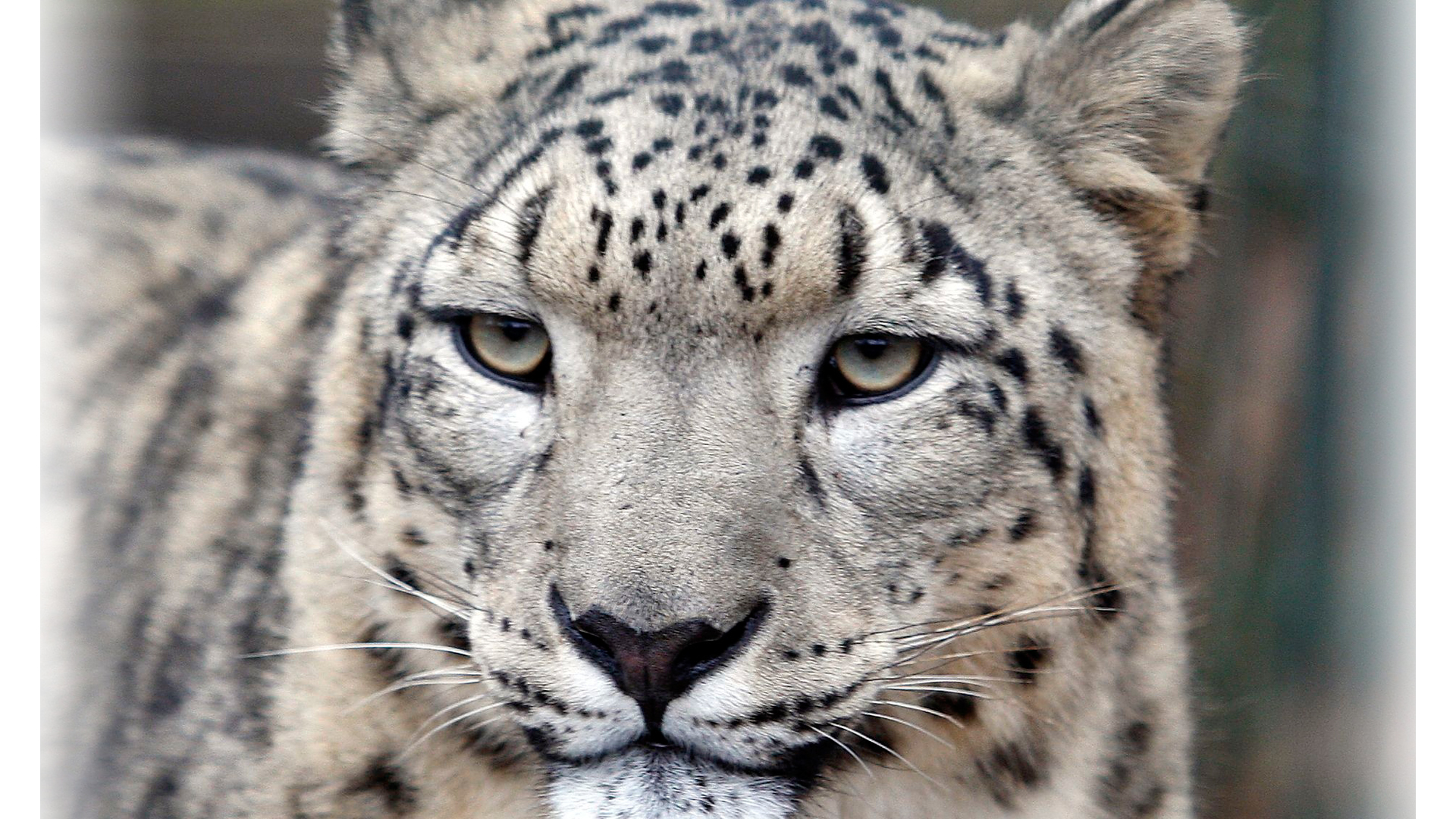 Mantel-Recht-Schneeleopard-Patenschaft-Ladakh